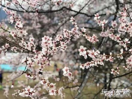 在桃花沟遇见最美春天,美图西藏